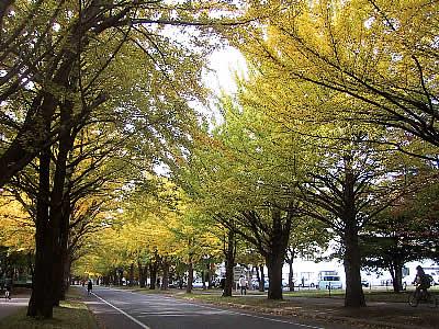 北海道大学イチョウ並木|写真