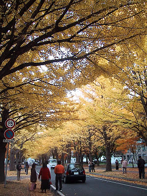 北海道大学イチョウ並木 写真