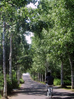 札幌|白石サイクリングロード|白樺並木