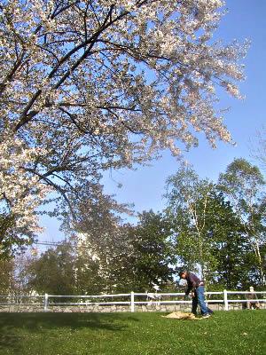 札幌|農試公園|桜