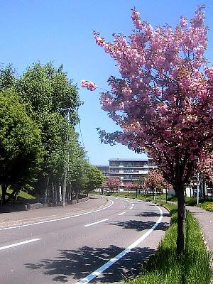 札幌|八重桜|八軒公務員合同宿舎