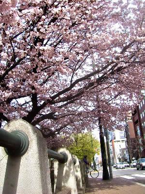 札幌|桜(札幌市資料館前)