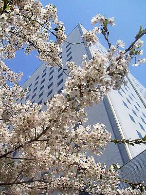 桜|札幌第一合同庁舎前|写真