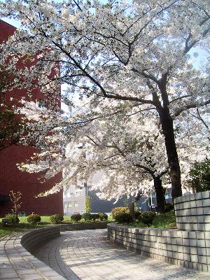 桜|札幌第一合同庁舎前
