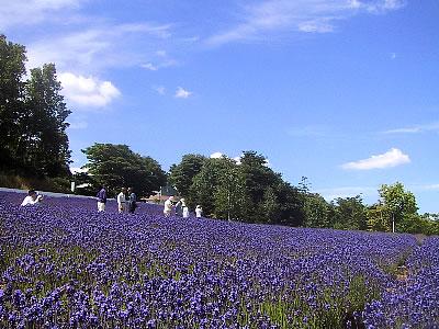 札幌|北海道東海大学|ラベンダー
