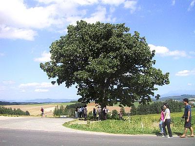 美瑛|セブンスターの木|写真