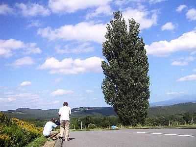 美瑛|ケンとメリーの木|写真