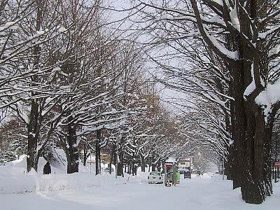 北海道大学 イチョウ並木 写真