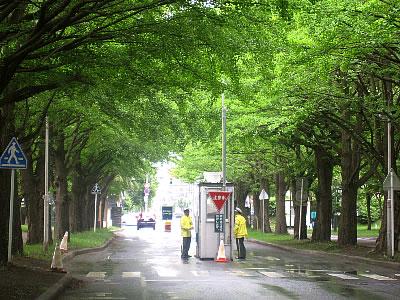北海道大学|イチョウ並木|写真