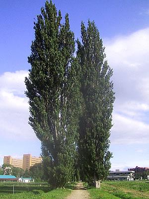 北海道大学ポプラ並木|写真